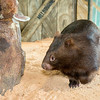 Wombat_Arrival-0037-5466