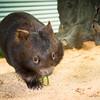 Wombat_Arrival-0067-5577