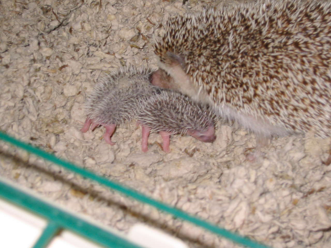 Litter - Spike and Puncture (09/10/2003)  Hedgehog Babies  Filename reference: 20030918-220225-HAH-Hedgehog_Babies