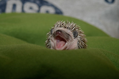 Yawning Baby Pascal
