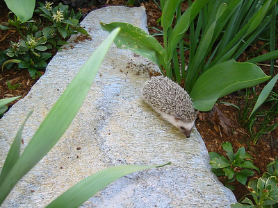 42 days old. Pascal explores the garden for the first time.