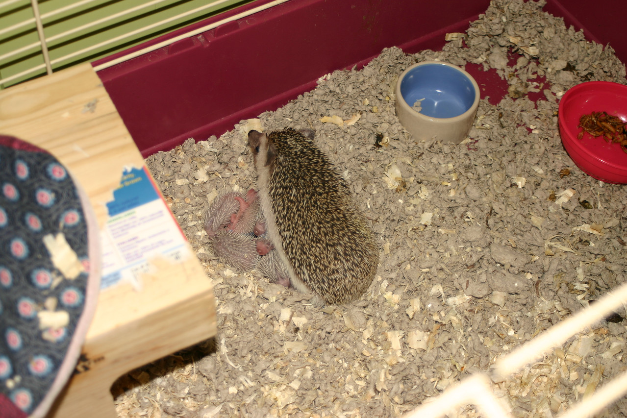 Litter - BB and Buttercup (04/25/2004)  2-3 days old. Buttercup's maternal and foster litters.  Filename reference: 20040428-235839-HAH-Hedgehog_Babies