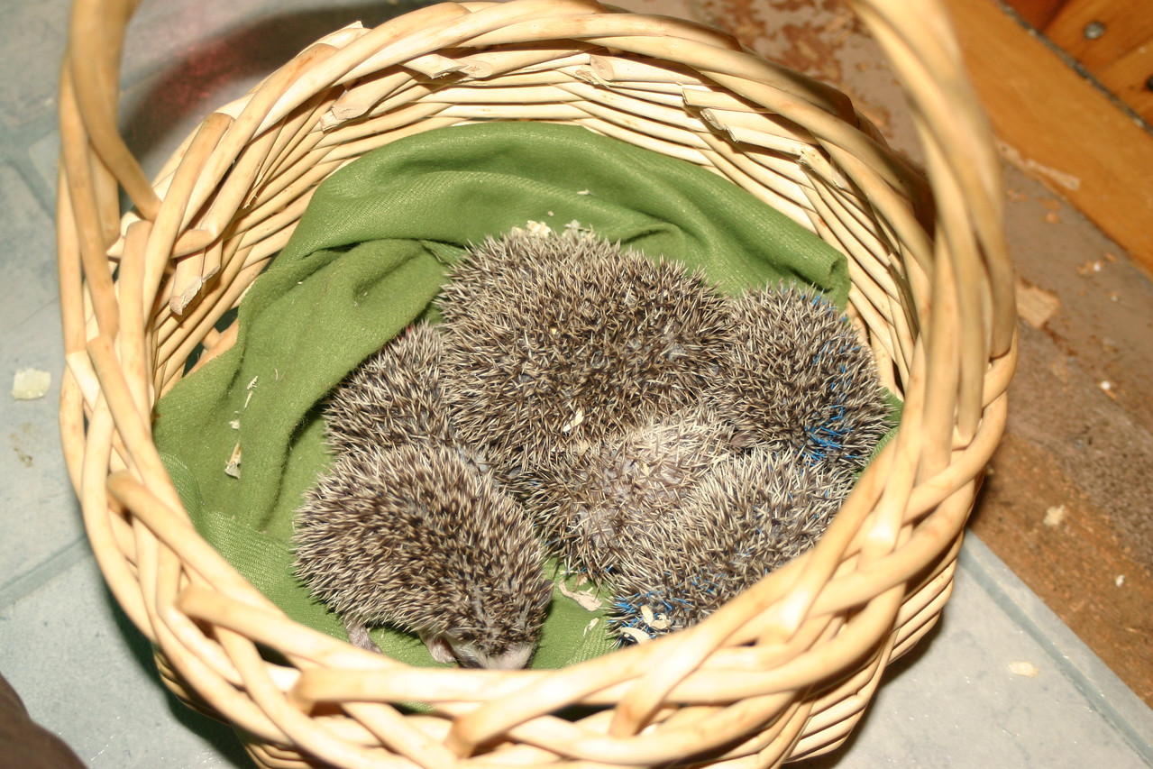 Litter - BB and Buttercup (04/25/2004)  22-23 days old.  Filename reference: 20040518-195515-HAH-Hedgehog_Babies