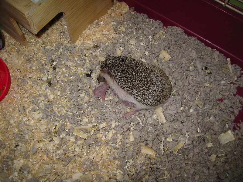 Litter - BB and Buttercup (04/25/2004)  Newborn: ~30 hours old.  Filename reference: 20040426-130515-HAH-Hedgehog_Babies