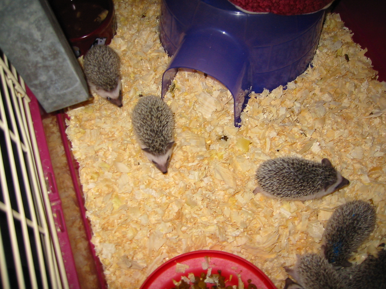 Litter - BB and Buttercup (04/25/2004)  37-38 days old.  Filename reference: 20040602-003522-HAH-Hedgehog_Babies