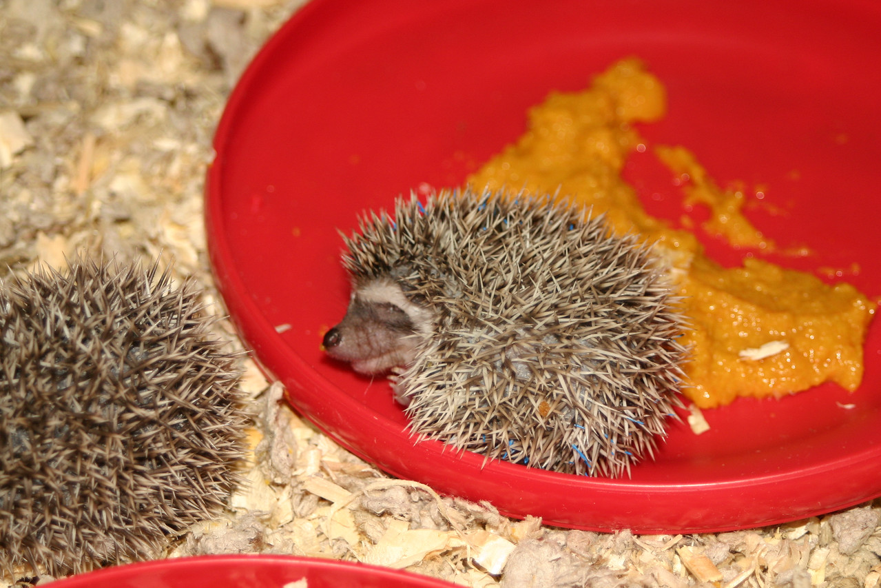 Litter - BB and Buttercup (04/25/2004)  23-24 days old.  Filename reference: 20040519-012113-HAH-Hedgehog_Babies