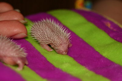 Litter - BB and Buttercup (04/25/2004)  Newborn: ~18 hours old.  Filename reference: 20040426-010539-HAH-Hedgehog_Babies
