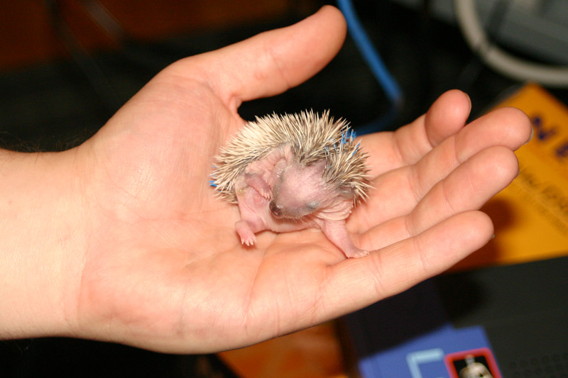 Litter - BB and Buttercup (04/25/2004)  10-11 days old. Buttercup's maternal and foster litters.  Filename reference: 20040506-234832-HAH-Hedgehog_Babies