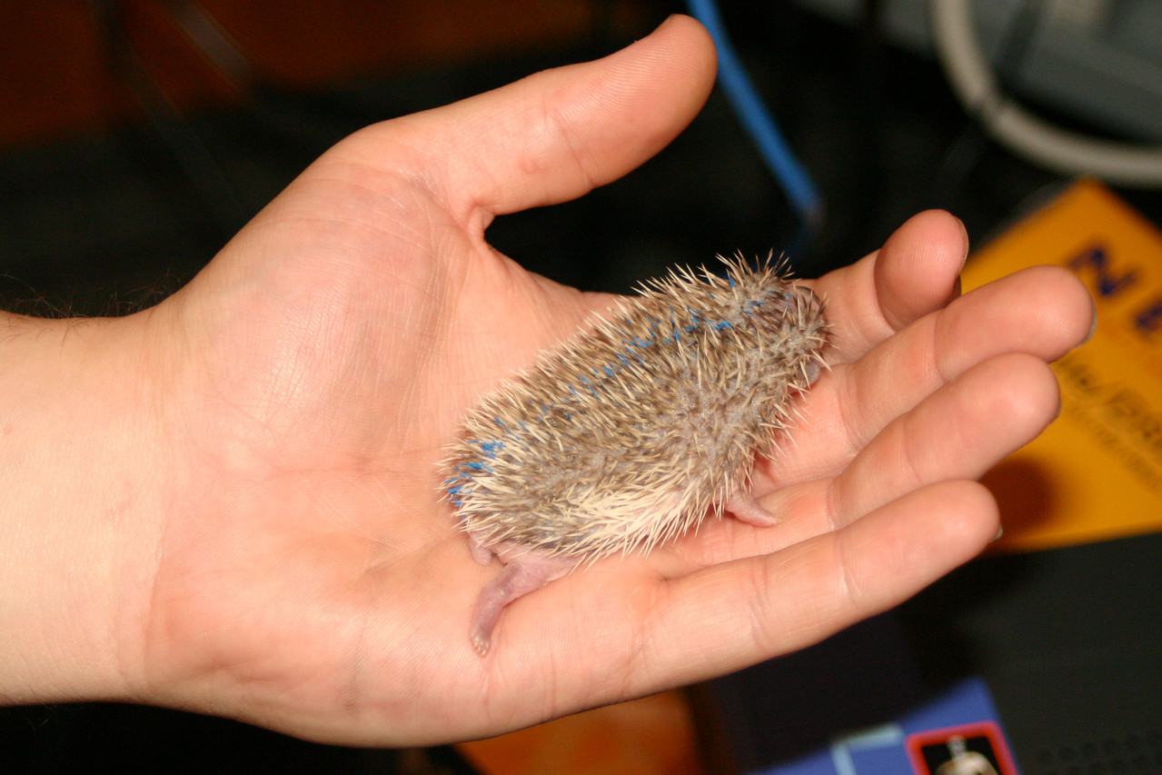 Litter - BB and Buttercup (04/25/2004)  10-11 days old. Buttercup's maternal and foster litters.  Filename reference: 20040506-234838-HAH-Hedgehog_Babies