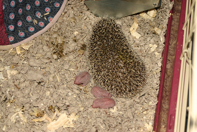 Litter - BB and Buttercup (04/25/2004)  Newborn: ~5 hours old.  Filename reference: 20040425-113714-HAH-Hedgehog_Babies