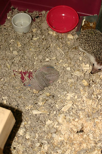 Litter - BB and Buttercup (04/25/2004)  4-5 days old. Buttercup's maternal and foster litters.  Filename reference: 20040430-005202-HAH-Hedgehog_Babies