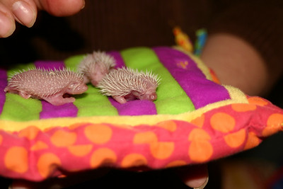Litter - BB and Buttercup (04/25/2004)  Newborn: ~18 hours old.  Filename reference: 20040426-010520-HAH-Hedgehog_Babies