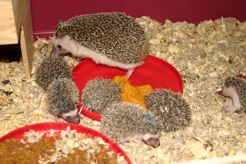 Litter - BB and Buttercup (04/25/2004)  23-24 days old.  Filename reference: 20040519-011747-HAH-Hedgehog_Babies