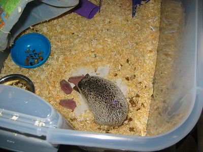 Litter - Capsaicin and Ackley (04/26/2004)  Newborn: ~10 hours old.  Filename reference: 20040426-130442-HAH-Hedgehog_Babies