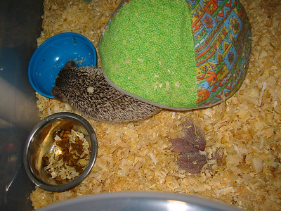 Litter - Capsaicin and Ackley (04/26/2004)  2 days old.  Filename reference: 20040428-031609-HAH-Hedgehog_Babies