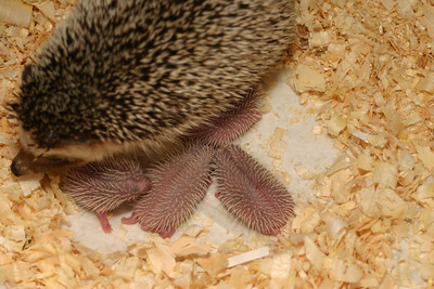 Litter - Capsaicin and Ackley (04/26/2004)  Newborn: ~53 hours old.  Filename reference: 20040427-223716-HAH-Hedgehog_Babies