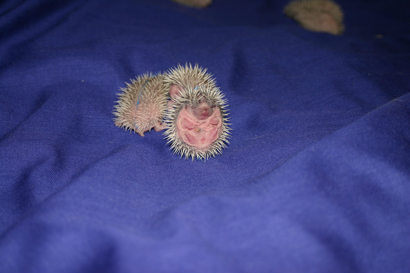 Litter - Capsaicin and Ackley (04/26/2004)  4 days old.  Filename reference: 20040501-022014-HAH-Hedgehog_Babies