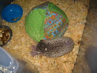 Litter - Capsaicin and Ackley (04/26/2004)  2 days old.  Filename reference: 20040428-031649-HAH-Hedgehog_Babies