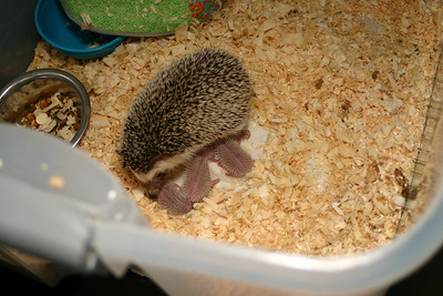 Litter - Capsaicin and Ackley (04/26/2004)  Newborn: ~53 hours old.  Filename reference: 20040427-223651-HAH-Hedgehog_Babies