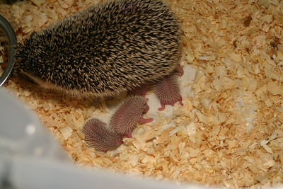 Litter - Capsaicin and Ackley (04/26/2004)  Newborn: ~53 hours old.  Filename reference: 20040427-223648-HAH-Hedgehog_Babies