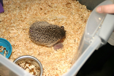 Litter - Capsaicin and Ackley (04/26/2004)  Newborn: ~53 hours old.  Filename reference: 20040427-223606-HAH-Hedgehog_Babies