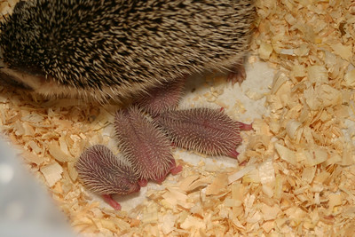 Litter - Capsaicin and Ackley (04/26/2004)  Newborn: ~53 hours old.  Filename reference: 20040427-223654-HAH-Hedgehog_Babies