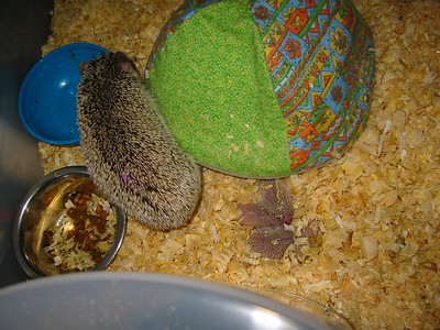 Litter - Capsaicin and Ackley (04/26/2004)  2 days old.  Filename reference: 20040428-031621-HAH-Hedgehog_Babies