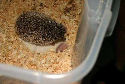 Litter - Capsaicin and Ackley (04/26/2004)  Newborn: ~33 hours old.  Filename reference: 20040427-002648-HAH-Hedgehog_Babies