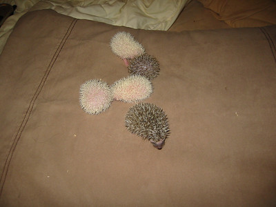 Litter - Reese Too and Augusta (04/29/2004)  15 days old.  Filename reference: 20040514-221327-HAH-Hedgehog_Babies