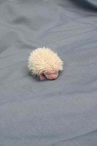 Litter - SCSI and Dixie Cup (06/30/2004)  21 days old.  Filename reference: 20040720-005449-HAH-Hedgehog_Babies