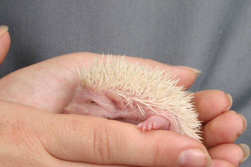 Litter - SCSI and Dixie Cup (06/30/2004)  21 days old.  Filename reference: 20040720-005600-HAH-Hedgehog_Babies