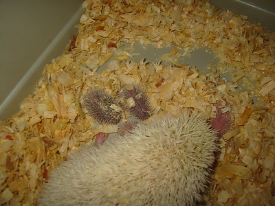 Litter - Tristin and MIDI (07/21/2004)  Litter - Tristin and MIDI (07/21/2004)  Filename reference: 20040723-201215-HAH-Hedgehog_Babies