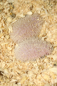 Litter - Travis and Belle (10/09/2004)  Litter - Travis and Belle (10/09/2004)  Filename reference: 20041020-215019-HAH-Hedgehog_Babies