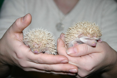 Litter - Travis and Belle (10/09/2004)  Litter - Travis and Belle (10/09/2004)  Filename reference: 20041105-023959-HAH-Hedgehog_Babies