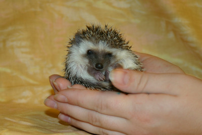 Litter - Static and Monochrome (10/21/2004)  Foster  Filename reference: 20041205-052821-HAH-Hedgehog_Babies