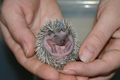 Litter - Static and Monochrome (10/21/2004)  Litter - Static and Monochrome (10/21/2004)  Filename reference: 20041105-024149-HAH-Hedgehog_Babies