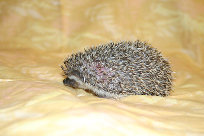 Litter - Static and Monochrome (10/21/2004)  Foster  Filename reference: 20041205-052747-HAH-Hedgehog_Babies