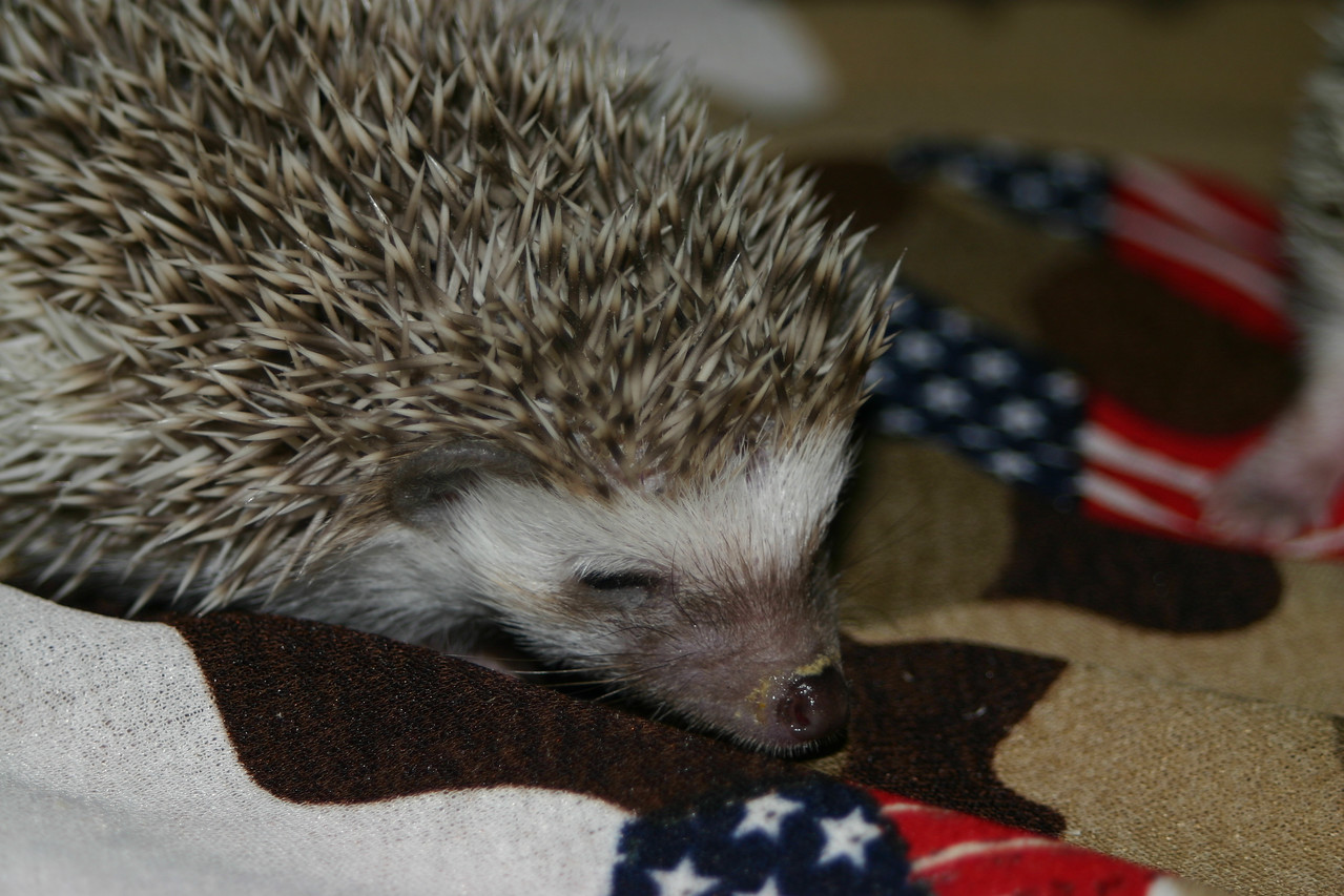 Litter - SCSI and Orianna (02/03/2005)  Litter - SCSI and Orianna (02/03/2005)  Filename reference: 20050306-235635-HAH-Hedgehog_Babies
