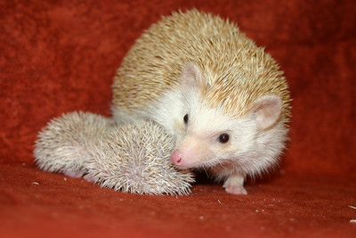 Litter - SCSI and Orianna (02/03/2005)  Litter - SCSI and Orianna (02/03/2005)  Filename reference: 20050214-232703-HAH-Hedgehog_Babies