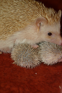 Litter - SCSI and Orianna (02/03/2005)  Litter - SCSI and Orianna (02/03/2005)  Filename reference: 20050214-232844-HAH-Hedgehog_Babies