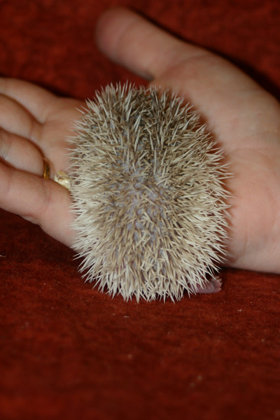 Litter - SCSI and Orianna (02/03/2005)  Litter - SCSI and Orianna (02/03/2005)  Filename reference: 20050214-232536-HAH-Hedgehog_Babies