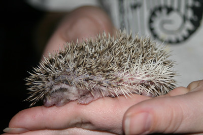 Litter - Froogle and ASCII (02/13/2005)  Litter - Froogle and ASCII (02/13/2005)  Filename reference: 20050307-001304-HAH-Hedgehog_Babies
