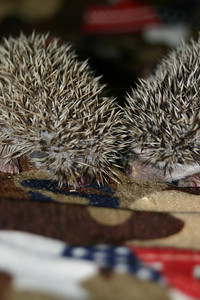 Litter - Froogle and ASCII (02/13/2005)  Litter - Froogle and ASCII (02/13/2005)  Filename reference: 20050307-001344-HAH-Hedgehog_Babies