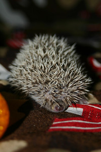 Litter - Froogle and ASCII (02/13/2005)  Litter - Froogle and ASCII (02/13/2005)  Filename reference: 20050307-001340-HAH-Hedgehog_Babies