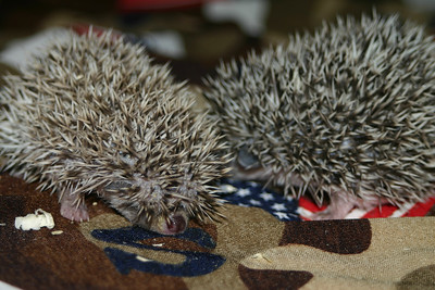 Litter - Froogle and ASCII (02/13/2005)  Litter - Froogle and ASCII (02/13/2005)  Filename reference: 20050307-001401-HAH-Hedgehog_Babies