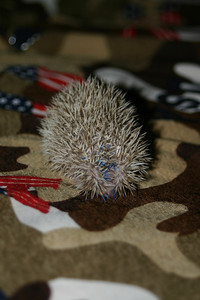 Litter - Capsaicin and Macintosh (02/17/2005)  Litter - Capsaicin and Macintosh (02/17/2005)  Filename reference: 20050307-000429-HAH-Hedgehog_Babies