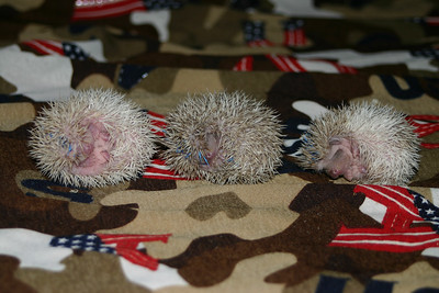 Litter - Capsaicin and Macintosh (02/17/2005)  Litter - Capsaicin and Macintosh (02/17/2005)  Filename reference: 20050307-000724-HAH-Hedgehog_Babies