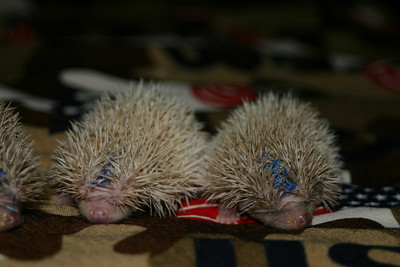 Litter - Capsaicin and Macintosh (02/17/2005)  Litter - Capsaicin and Macintosh (02/17/2005)  Filename reference: 20050307-000552-HAH-Hedgehog_Babies