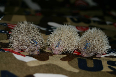 Litter - Capsaicin and Macintosh (02/17/2005)  Litter - Capsaicin and Macintosh (02/17/2005)  Filename reference: 20050307-000544-HAH-Hedgehog_Babies