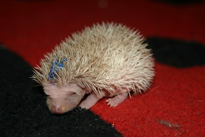 Litter - Capsaicin and Macintosh (02/17/2005)  Litter - Capsaicin and Macintosh (02/17/2005)  Filename reference: 20050303-191323-HAH-Hedgehog_Babies